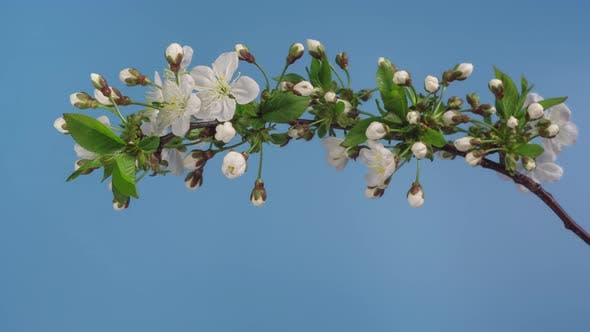 Thumbnail for Spring Apple Tree Flowers Blossom Timelapse