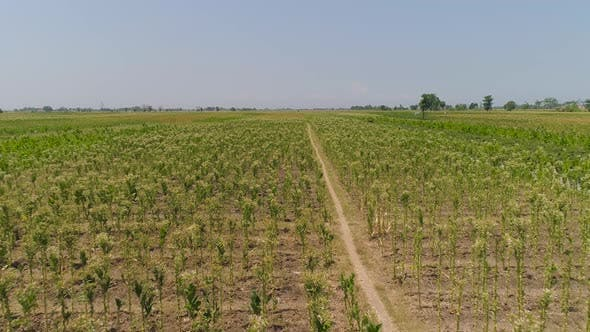 Thumbnail for Tobacco Plantation in Indonesia