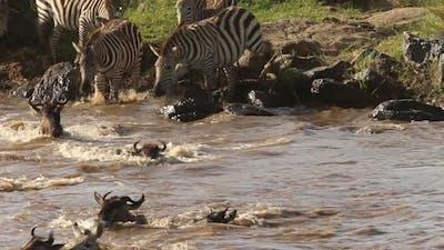 Great Migration Zebra Crossing (2 Clips)