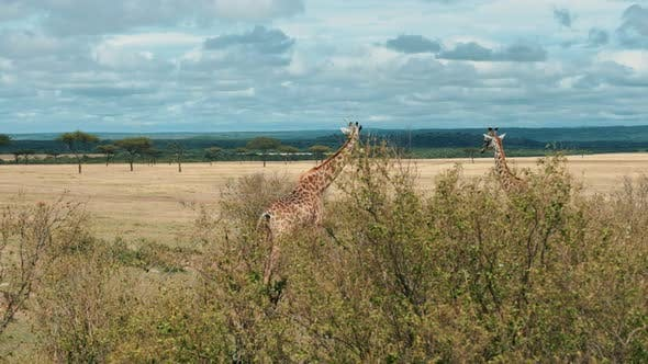 Thumbnail for Giraffes In Natural- South Africa