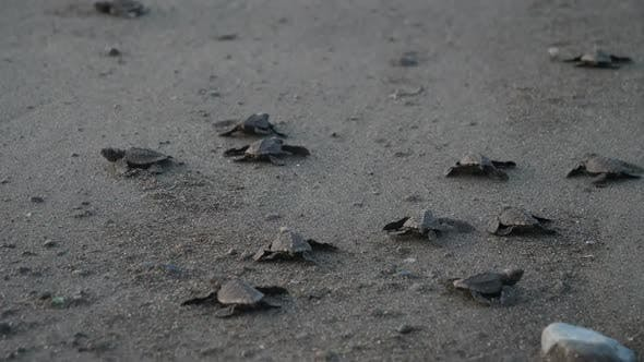 Thumbnail for Atlantic Ridley Sea Baby Turtles Crossing the Beach