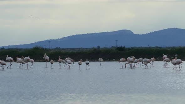 Thumbnail for Flamingos in a lake at Ethniko Parko Limnothalasson