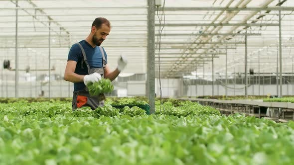 Cover Image for Farm Worker Harvesting Organic Green Salad in a Box