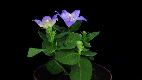 Thumbnail for Time-lapse of opening blue Campanula flower