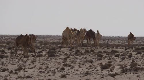 Herd of dromedary camels