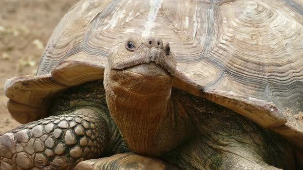 Thumbnail for Big Turtle Closeup Portrait,
