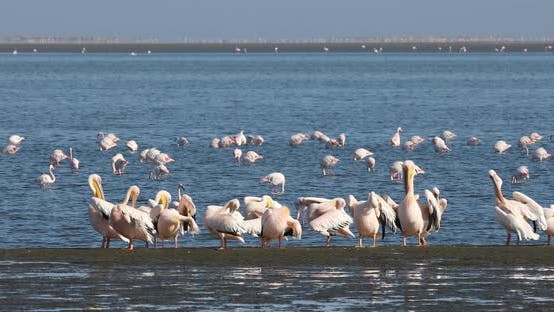 pelican colony in Walvis bay, Namibia wildlife
