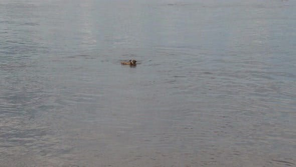 Cover Image for Dog Comes out of River with a Wooden Stick