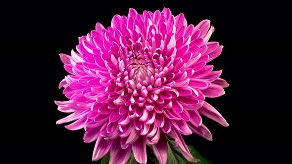 Thumbnail for Beautiful Pink Chrysanthemum Flower Opening