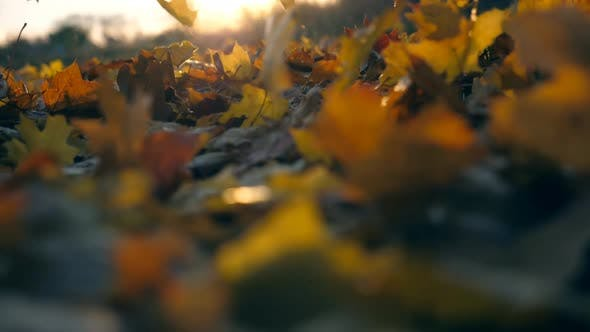 Thumbnail for Yellow Maple Leaves Is Falling in Autumn Park and Sun Shining Through It. Beautiful Landscape