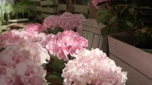 Hydrangea pots in home garden.