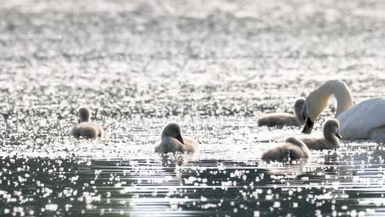 Thumbnail for Wild bird mute swan (Cygnus olor) swim and feeding on spring pond, Czech Republic Europe wildlife