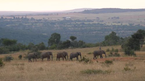 Elephants walking slowly in line