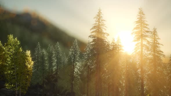 Pine Forest on Sunrise with Warm Sunbeams