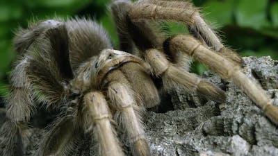 Close up shot of an Arizona Blond Tarantula crawling on some bark