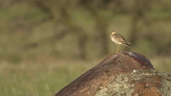 Thumbnail for Upland Plover Adult Lone Perched Looking Around in Spring On Rock