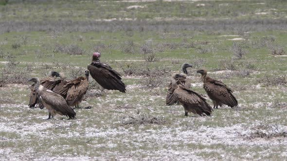 Thumbnail for Group of Cape vultures in Kgalagadi Transfrontier Park