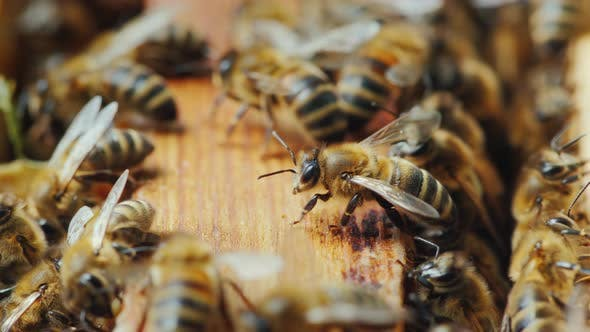 Thumbnail for The Bees Are Working Inside the Hive. Useful Food and Traditional Medicine