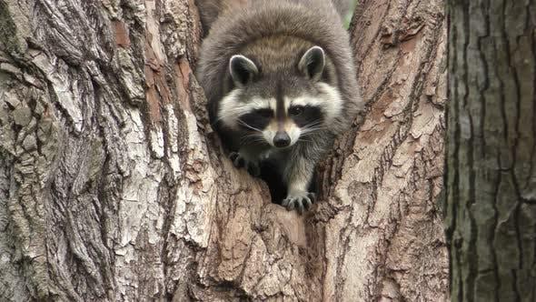 Thumbnail for Raccoon Adult Alone Climbing Crawling Summer