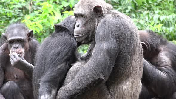 Chimpanzee Adult Young Several Grooming Cleaning Summer