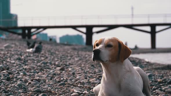 Cover Image for Stray Dog Lies on a Stone Shore of the Sea. Hungry, Wild and Unhappy Homeless Dog