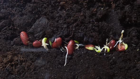 Agriculture Concept. Bean Seedlings Sprout Underground. Timelapse