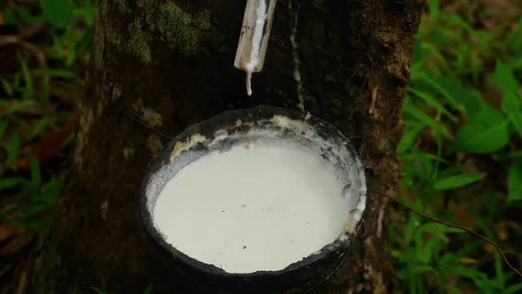 Thumbnail for Milky Latex Extracted From Rubber Tree