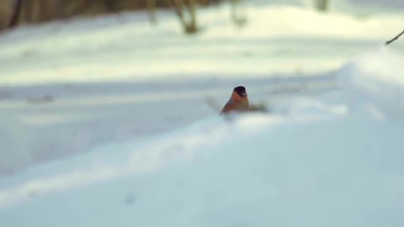 Thumbnail for Bullfinch Eating Seeds