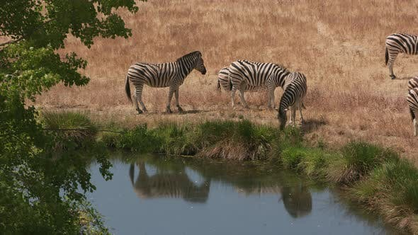 Thumbnail for Group of Demara Zebra by pond at wildlife park