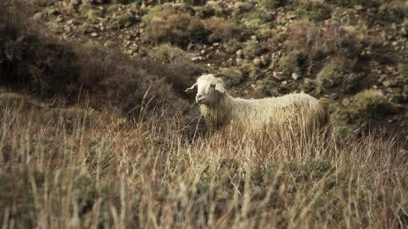 Thumbnail for Sheep Walking on Mountain Pasture.