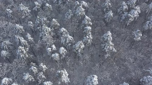 Pine forest under the first snow 4K aerial footage