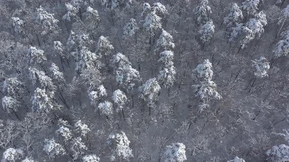 Thumbnail for Pine forest under the first snow 4K aerial footage