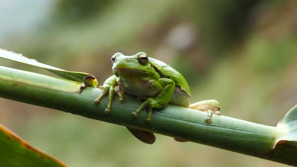 Thumbnail for Green tree frog sitting on a branch