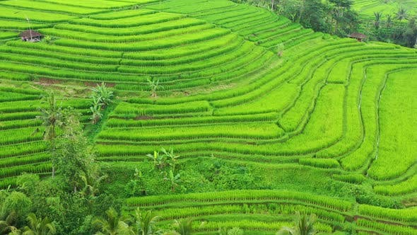 Thumbnail for Aerial View of Rice Terraces. Bali, Indonesia. Agricultural Landscape from The Air.