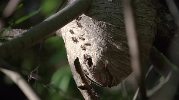 Thumbnail for Wasp Nest Opening Close Up In Forest