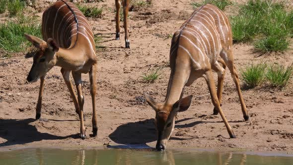Thumbnail for Lesser kudus drinks from a waterhole