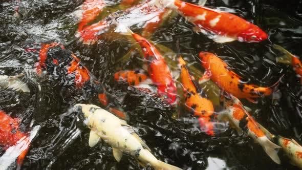 poissons colorés dans un étang