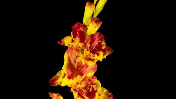 Thumbnail for Time lapse of Opening Yellow Gladiolus Flower