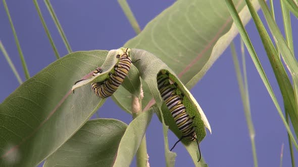 Thumbnail for Monarch Caterpillar Larvae Worm Several Eating Feeding in Summer