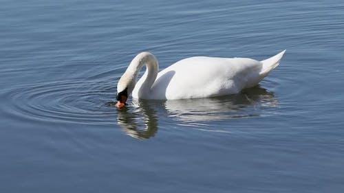 Wild mute swan in spring on pond