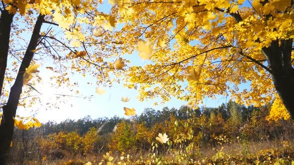 Golden Maple Leaves Falls on Ground in Empty Forest