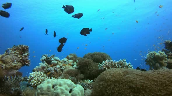 Thumbnail for Underwater Colorful Reef Fish