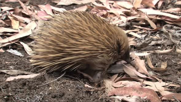 Cover Image for Echidna Searching for Food