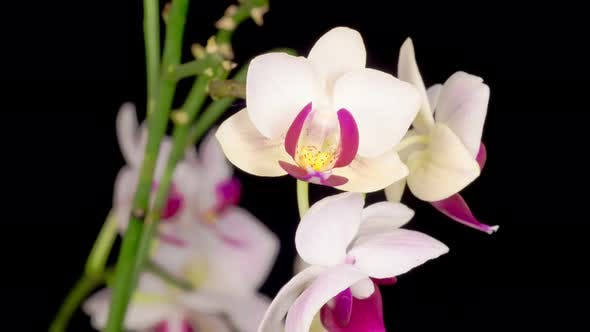 Thumbnail for Blooming White Orchid Phalaenopsis Flower