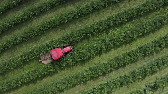 Thumbnail for Top View of Tractor Rides Along Green Raws of Blueberry Field on Blueberry Plantation. Removal of