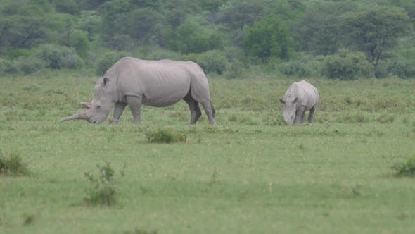 Rhino mother and young grazing