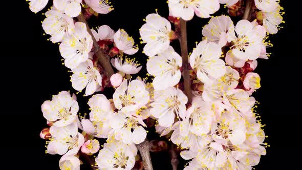 Cover Image for White Flowers Blossoms on the Branches of Apricot Tree