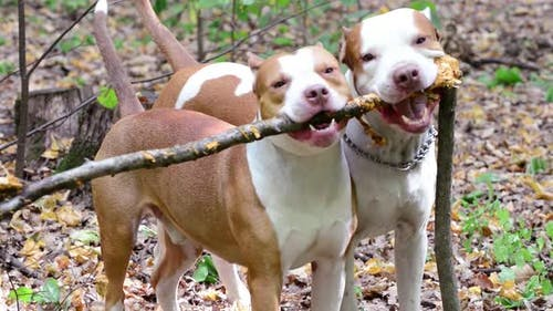 Two Pit Bull Terrier