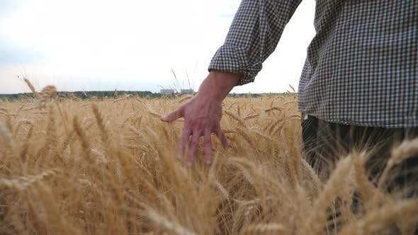Thumbnail for Close Up of Male Arm Moving Over Ripe Wheat Growing on the Meadow. Young Farmer Walking Through the