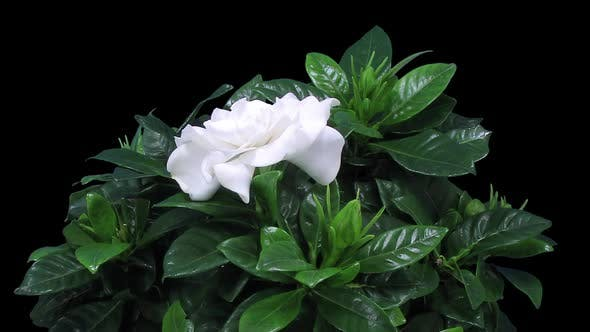 Thumbnail for Time-lapse of opening gardenia flower